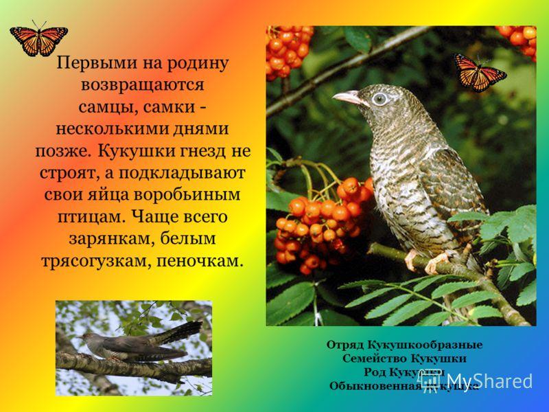 Первыми на родину возвращаются самцы, самки - несколькими днями позже. Кукушки гнезд не строят, а подкладывают свои яйца воробьиным птицам. Чаще всего зарянкам, белым трясогузкам, пеночкам. Отряд Кукушкообразные Семейство Кукушки Род Кукушки Обыкнове