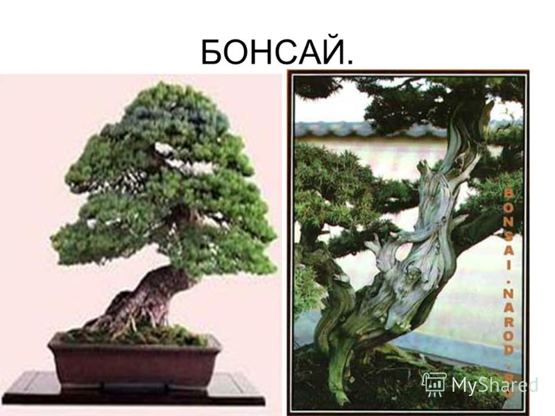 БОНСАЙ.