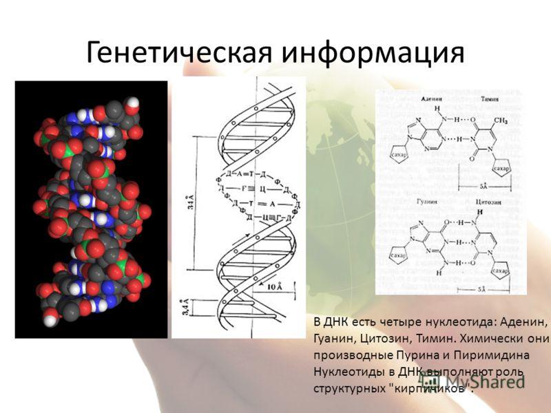 Генетическая информация В ДНК есть четыре нуклеотида: Аденин, Гуанин, Цитозин, Тимин. Химически они производные Пурина и Пиримидина Нуклеотиды в ДНК выполняют роль структурных кирпичиков.