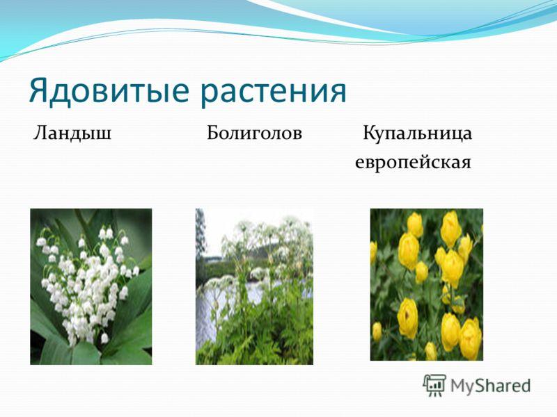 Ядовитые растения Ландыш Болиголов Купальница европейская