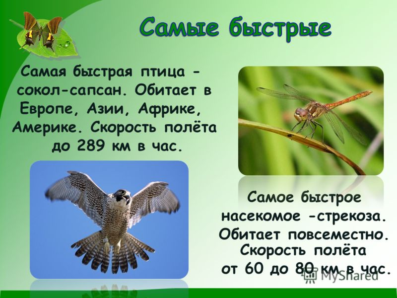 Самая быстрая птица - cокол-сапсан. Обитает в Европе, Азии, Африке, Америке. Скорость полёта до 289 км в час. Самое быстрое насекомое -стрекоза. Обитает повсеместно. Скорость полёта от 60 до 80 км в час.
