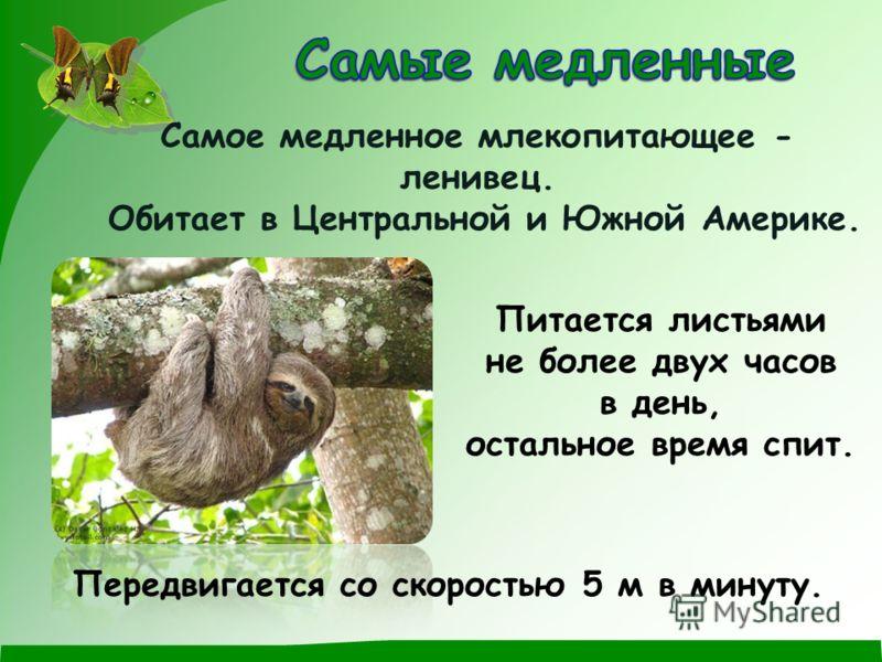 Самое медленное млекопитающее - ленивец. Обитает в Центральной и Южной Америке. Питается листьями не более двух часов в день, остальное время спит. Передвигается со скоростью 5 м в минуту.