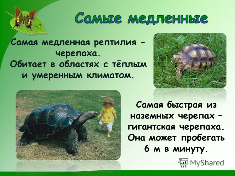 Самая медленная рептилия - черепаха. Обитает в областях с тёплым и умеренным климатом. Самая быстрая из наземных черепах – гигантская черепаха. Она может пробегать 6 м в минуту.