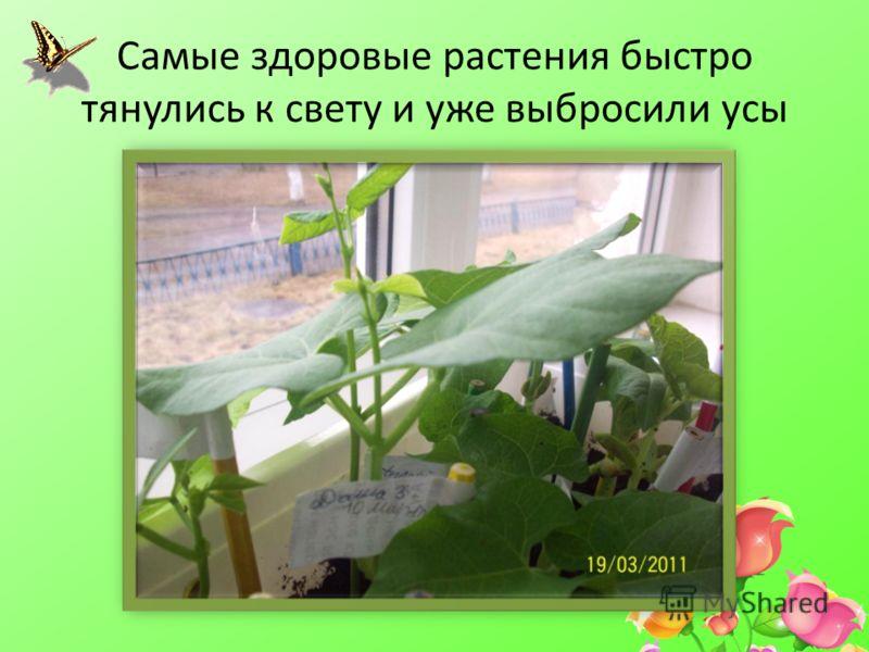 Самые здоровые растения быстро тянулись к свету и уже выбросили усы