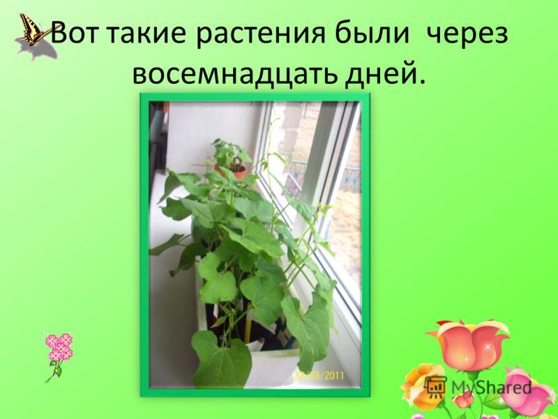Вот такие растения были через восемнадцать дней.
