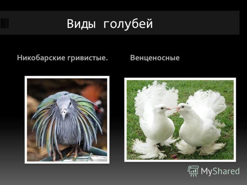 Виды голубей Никобарские гривистые.Венценосные