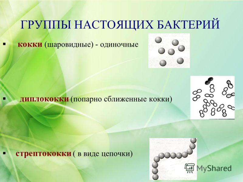 ГРУППЫ НАСТОЯЩИХ БАКТЕРИЙ кокки (шаровидные) - одиночные диплококки (попарно сближенные кокки) стрептококки ( в виде цепочки)