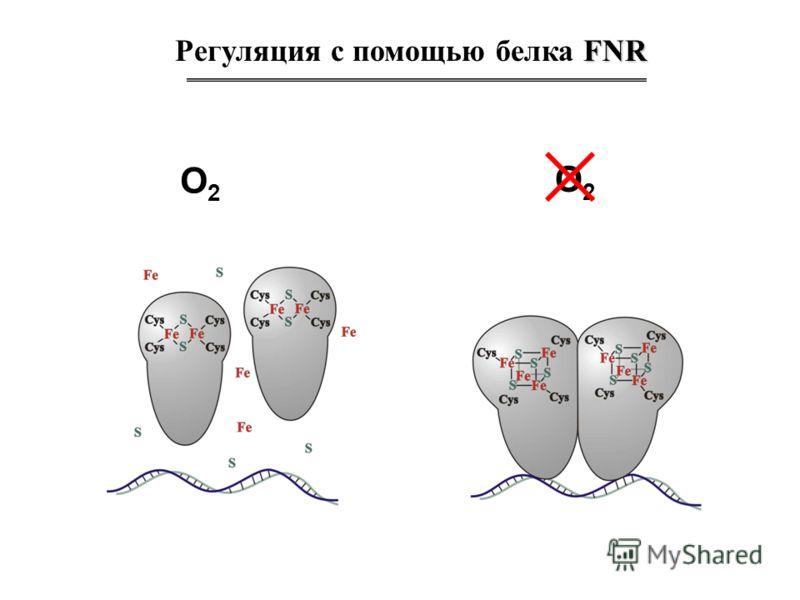 FNR Регуляция с помощью белка FNR O2O2 O2O2