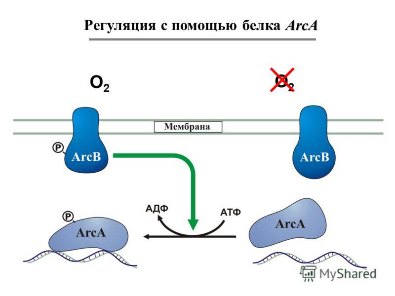 ArcA Регуляция с помощью белка ArcA O2O2 O2O2