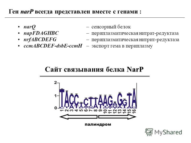 NarP Сайт связывания белка NarP narP Ген narP всегда представлен вместе с генами : narQ napFDAGHBC nrfABCDEFG ccmABCDEF-dsbE-ccmH – сенсорный белок – периплазматическая нитрат-редуктаза – периплазматическая нитрит-редуктаза – экспорт гема в периплазм