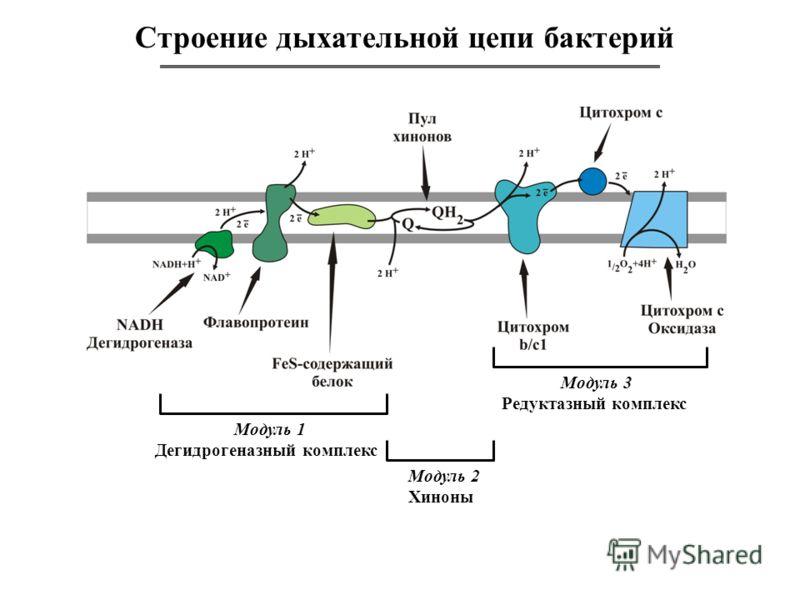 Строение дыхательной цепи бактерий Модуль 1 Дегидрогеназный комплекс Модуль 3 Редуктазный комплекс Модуль 2 Хиноны