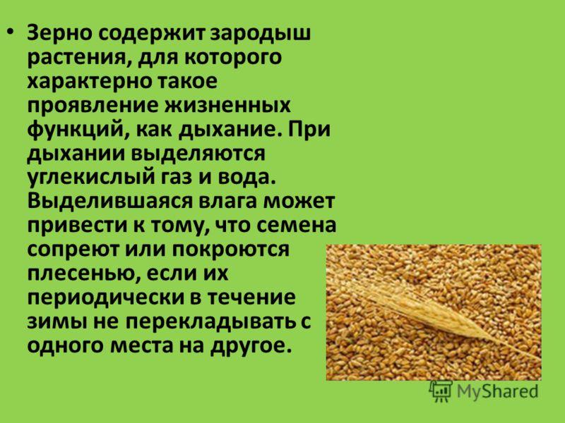 Зерно содержит зародыш растения, для которого характерно такое проявление жизненных функций, как дыхание. При дыхании выделяются углекислый газ и вода. Выделившаяся влага может привести к тому, что семена сопреют или покроются плесенью, если их перио