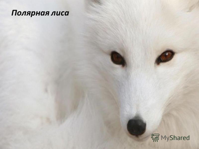 Фауна Крупных лесных зверей сохранилось немного, лишь на востоке встречаются медведи, полярные лисы, волки и рыси. В Лапландии водятся дикие северные олени. В лесах также обитают лось, белка, лиса, заяц, выдра и выхухоль. Птиц насчитывается более 250