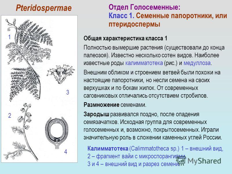 Общая характеристика класса 1 Полностью вымершие растения (существовали до конца палеозоя). Известно несколько сотен видов. Наиболее известные роды калимматотека (рис.) и медуллоза. Внешним обликом и строением ветвей были похожи на настоящие папоротн