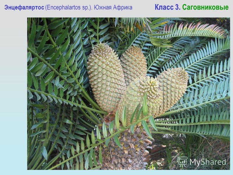 Энцефаляртос (Encephalartos sp.). Южная Африка Класс 3. Саговниковые