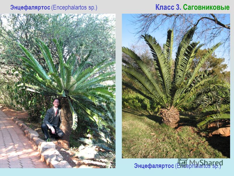 Энцефаляртос (Encephalartos sp.) Класс 3. Саговниковые Энцефаляртос (Encephalartos sp.)