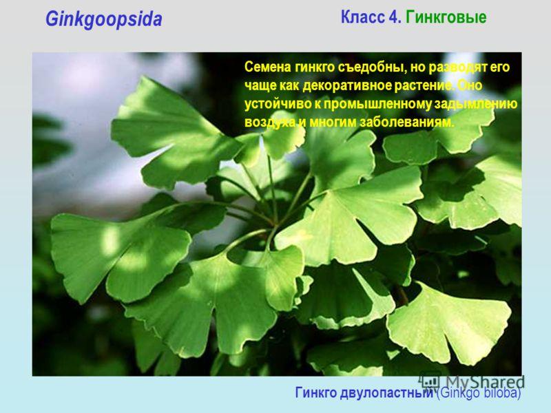 Класс 4. Гинкговые Ginkgoopsida Гинкго двулопастный (Ginkgo biloba) Семена гинкго съедобны, но разводят его чаще как декоративное растение. Оно устойчиво к промышленному задымлению воздуха и многим заболеваниям.