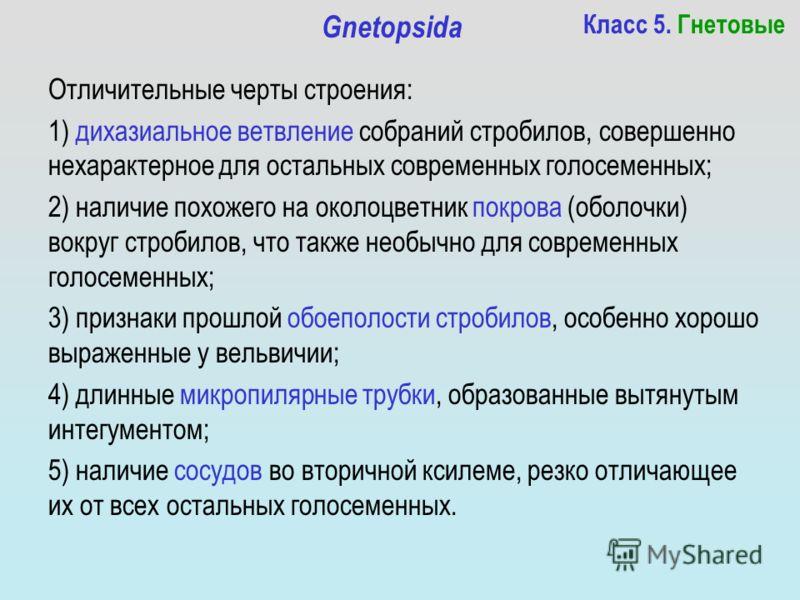 Класс 5. Гнетовые Gnetopsida Отличительные черты строения: 1) дихазиальное ветвление собраний стробилов, совершенно нехарактерное для остальных современных голосеменных; 2) наличие похожего на околоцветник покрова (оболочки) вокруг стробилов, что так