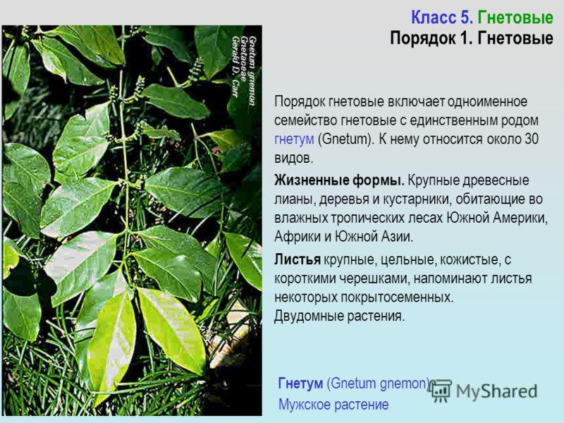 Класс 5. Гнетовые Порядок 1. Гнетовые Порядок гнетовые включает одноименное семейство гнетовые с единственным родом гнетум (Gnetum). К нему относится около 30 видов. Жизненные формы. Крупные древесные лианы, деревья и кустарники, обитающие во влажных