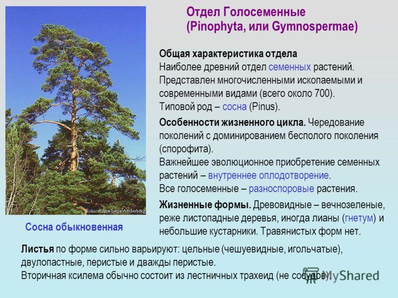 Отдел Голосеменные (Pinophyta, или Gymnospermae) Общая характеристика отдела Наиболее древний отдел семенных растений. Представлен многочисленными ископаемыми и современными видами (всего около 700). Типовой род – cосна (Pinus). Особенности жизненног