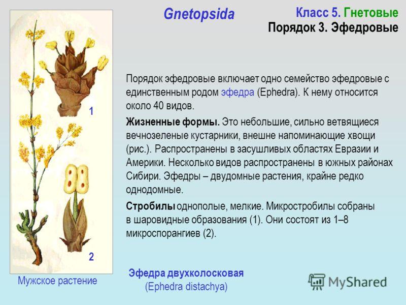 Класс 5. Гнетовые Порядок 3. Эфедровые Gnetopsida Порядок эфедровые включает одно семейство эфедровые с единственным родом эфедра (Ephedra). К нему относится около 40 видов. Жизненные формы. Это небольшие, сильно ветвящиеся вечнозеленые кустарники, в