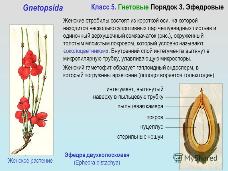 Класс 5. Гнетовые Порядок 3. Эфедровые Gnetopsida Женские стробилы состоят из короткой оси, на которой находится несколько супротивных пар чешуевидных листьев и одиночный верхушечный семязачаток (рис.), окруженный толстым мясистым покровом, который у