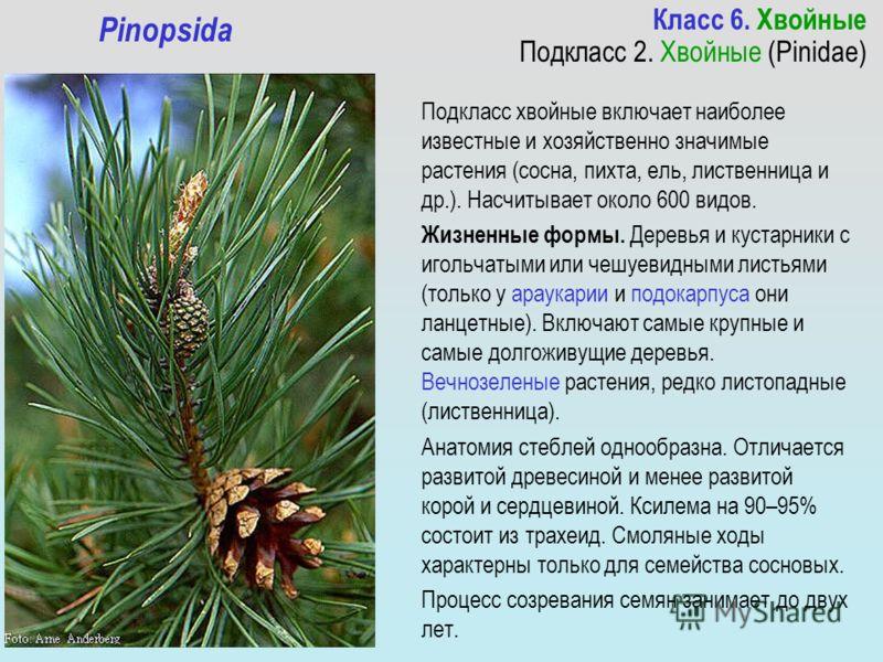 Класс 6. Хвойные Подкласс 2. Хвойные (Pinidae) Pinopsida Подкласс хвойные включает наиболее известные и хозяйственно значимые растения (сосна, пихта, ель, лиственница и др.). Насчитывает около 600 видов. Жизненные формы. Деревья и кустарники с игольч