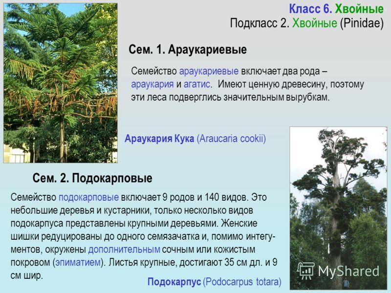Семейство араукариевые включает два рода – араукария и агатис. Имеют ценную древесину, поэтому эти леса подверглись значительным вырубкам. Семейство подокарповые включает 9 родов и 140 видов. Это небольшие деревья и кустарники, только несколько видов
