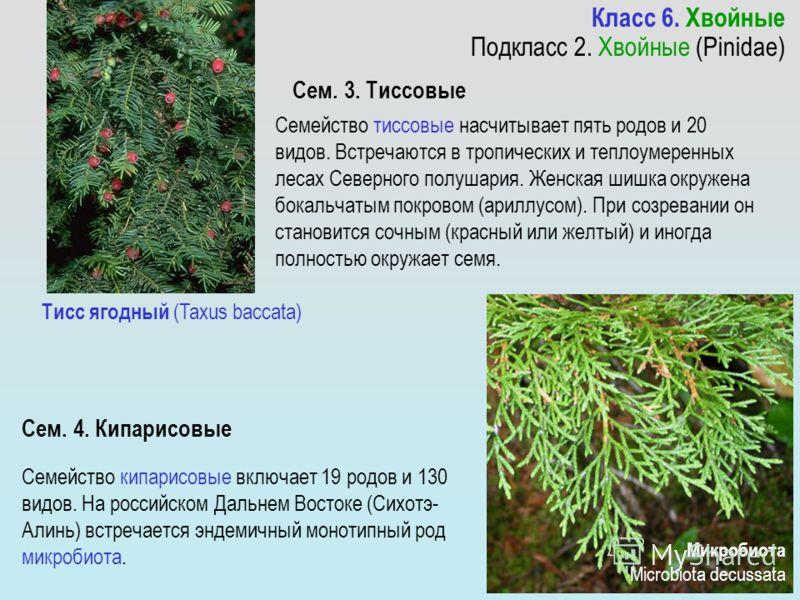 Семейство тиссовые насчитывает пять родов и 20 видов. Встречаются в тропических и теплоумеренных лесах Северного полушария. Женская шишка окружена бокальчатым покровом (ариллусом). При созревании он становится сочным (красный или желтый) и иногда пол
