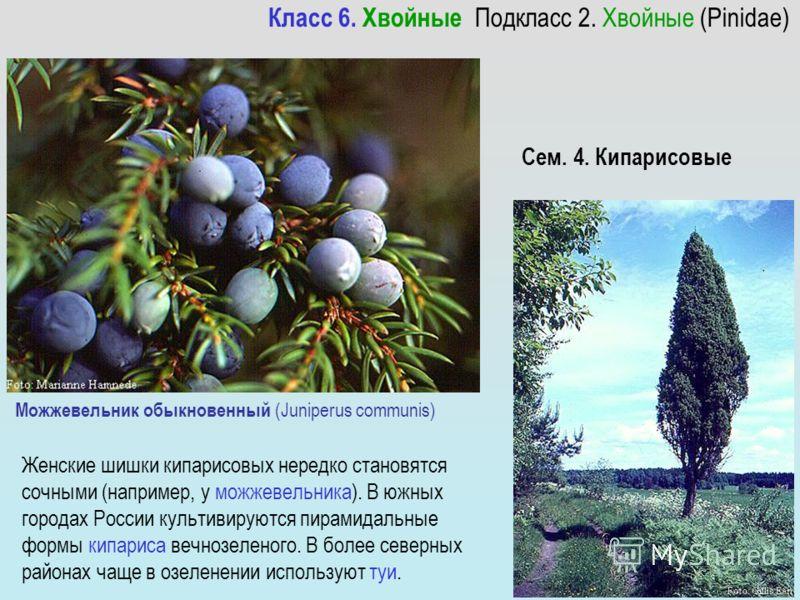 Можжевельник обыкновенный (Juniperus communis) Женские шишки кипарисовых нередко становятся сочными (например, у можжевельника). В южных городах России культивируются пирамидальные формы кипариса вечнозеленого. В более северных районах чаще в озелене