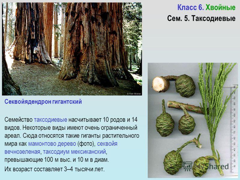 Класс 6. Хвойные Семейство таксодиевые насчитывает 10 родов и 14 видов. Некоторые виды имеют очень ограниченный ареал. Сюда относятся такие гиганты растительного мира как мамонтово дерево (фото), секвойя вечнозеленая, таксодиум мексиканский, превышаю