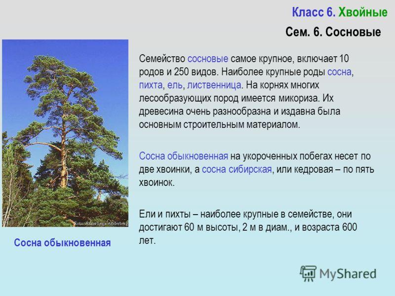 Класс 6. Хвойные Семейство сосновые самое крупное, включает 10 родов и 250 видов. Наиболее крупные роды сосна, пихта, ель, лиственница. На корнях многих лесообразующих пород имеется микориза. Их древесина очень разнообразна и издавна была основным ст
