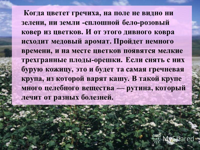 Когда цветет гречиха, на поле не видно ни зелени, ни земли -сплошной бело-розовый ковер из цветков. И от этого дивного ковра исходит медовый аромат. Пройдет немного времени, и на месте цветков появятся мелкие трехгранные плоды-орешки. Если снять с ни