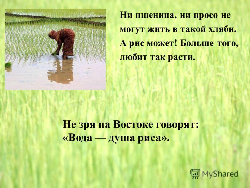 Ни пшеница, ни просо не могут жить в такой хляби. А рис может! Больше того, любит так расти. Не зря на Востоке говорят: «Вода душа риса».
