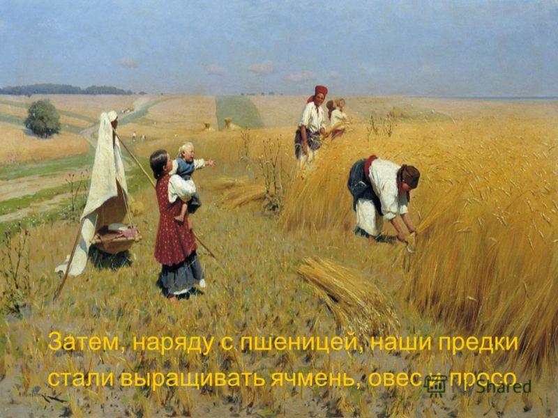 Затем, наряду с пшеницей, наши предки стали выращивать ячмень, овес и просо.