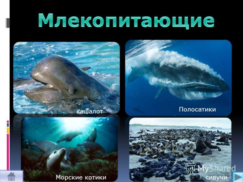 кашалот Полосатики Морские котикисивучи