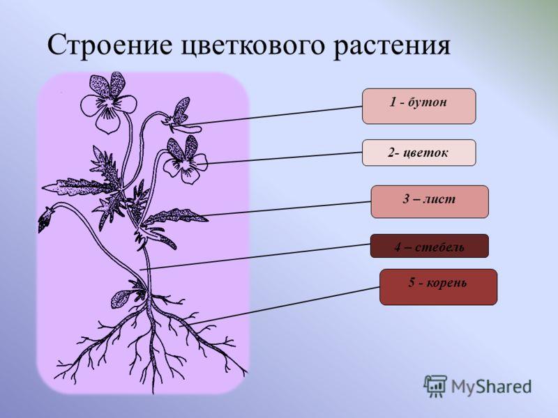 Строение цветкового растения 1 - бутон 2- цветок 3 – лист 4 – стебель 5 - корень