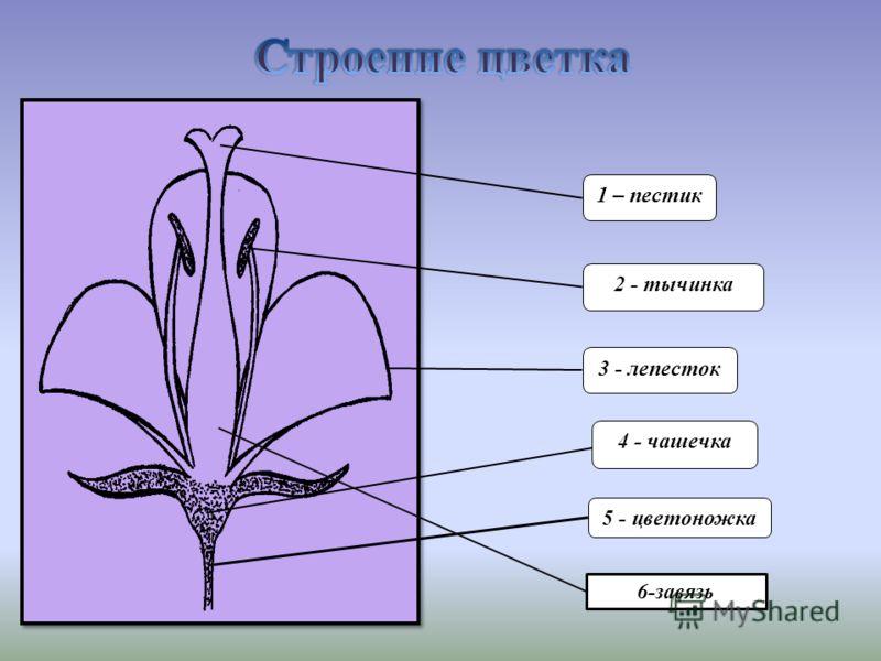 1 – пестик 2 - тычинка 3 - лепесток 4 - чашечка 5 - цветоножка 6-завязь