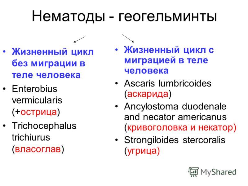 Нематоды - геогельминты Жизненный цикл без миграции в теле человека Enterobius vermicularis (+острица) Trichocephalus trichiurus (власоглав) Жизненный цикл с миграцией в теле человека Аscaris lumbricoides (aскарида) Ancylostoma duodenale and necator