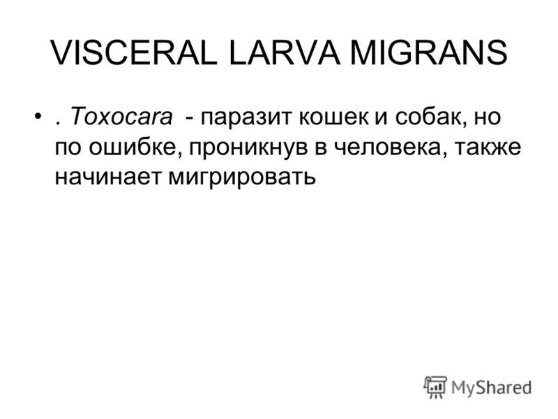 VISCERAL LARVA MIGRANS. Toxocara - паразит кошек и собак, но по ошибке, проникнув в человека, также начинает мигрировать