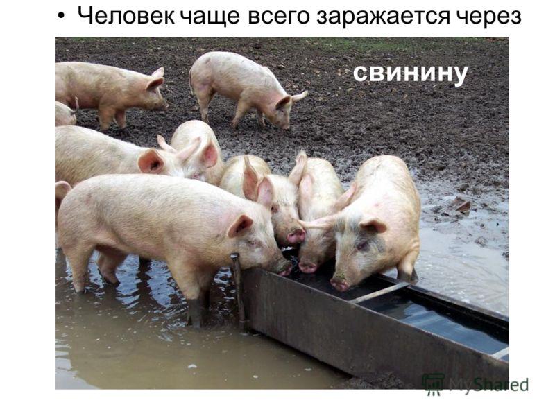 Человек чаще всего заражается через свинину свинину