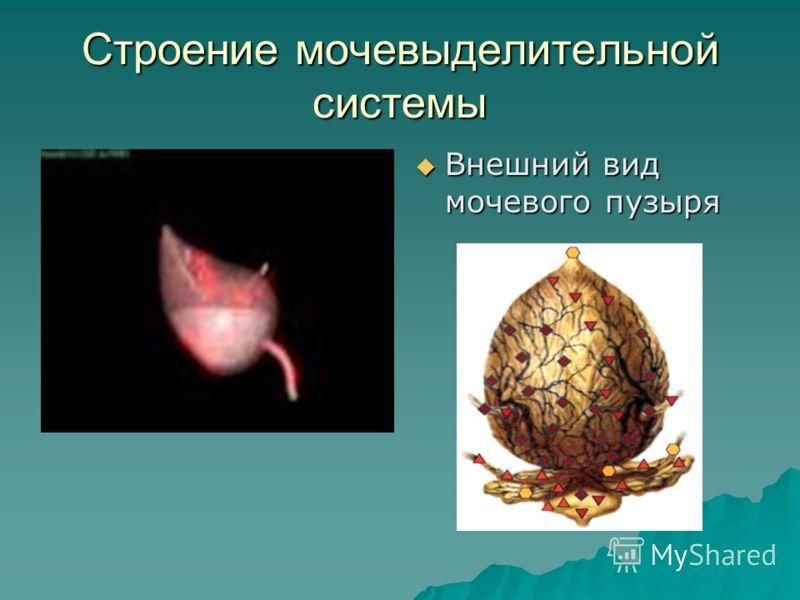 Строение мочевыделительной системы Внешний вид мочевого пузыря Внешний вид мочевого пузыря