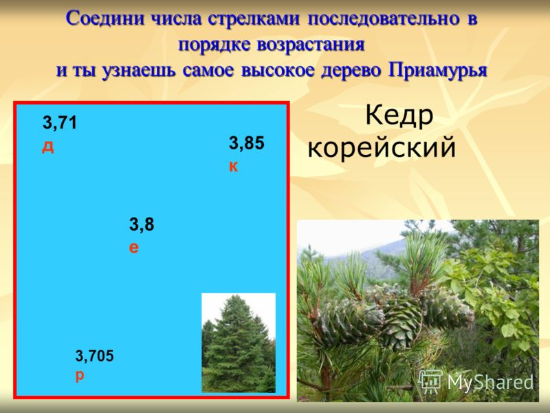 Соедини числа стрелками последовательно в порядке возрастания и ты узнаешь самое высокое дерево Приамурья 3,71 д 3,8 е 3,85 к 3,705 р Кедр корейский