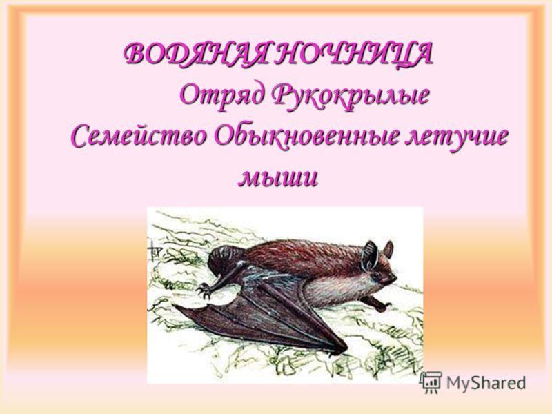 ВОДЯНАЯ НОЧНИЦА Отряд Рукокрылые Семейство Обыкновенные летучие мыши