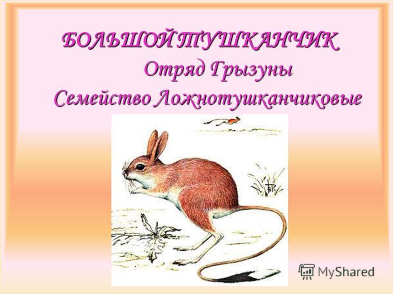 БОЛЬШОЙ ТУШКАНЧИК Отряд Грызуны Семейство Ложнотушканчиковые