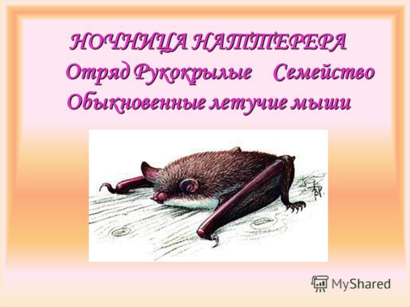 НОЧНИЦА НАТТЕРЕРА Отряд Рукокрылые Семейство Обыкновенные летучие мыши