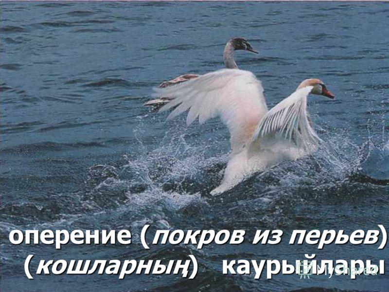 оперение (покров из перьев) (кошларның) каурыйлары