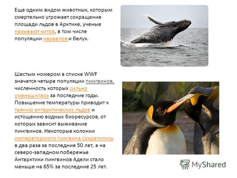 Еще одним видом животных, которым смертельно угрожает сокращение площади льдов в Арктике, ученые называют китов, в том числе популяции нарвалов и белух. называют китовнарвалов Шестым номером в списке WWF значатся четыре популяции пингвинов, численнос
