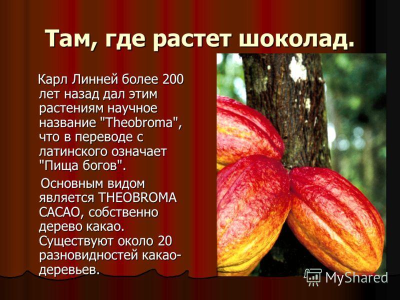 Там, где растет шоколад. Карл Линней более 200 лет назад дал этим растениям научное название