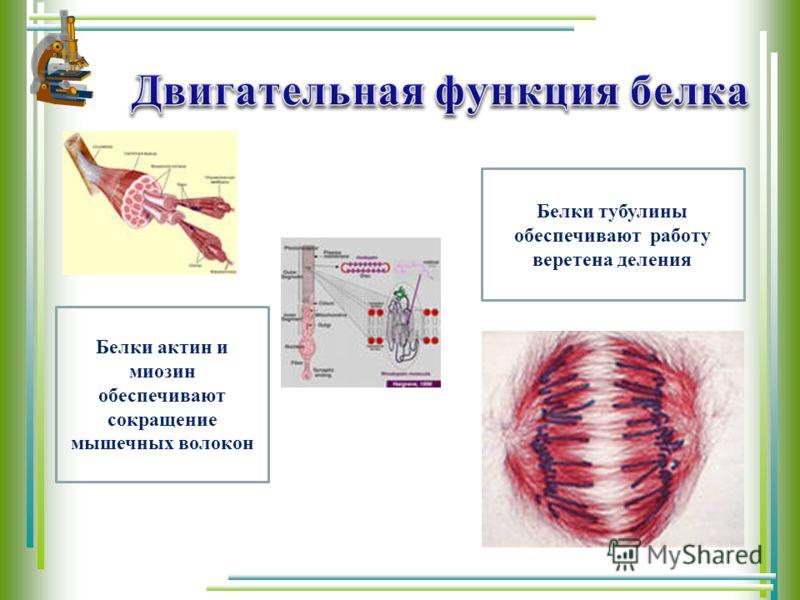 Белки актин и миозин обеспечивают сокращение мышечных волокон Белки тубулины обеспечивают работу веретена деления